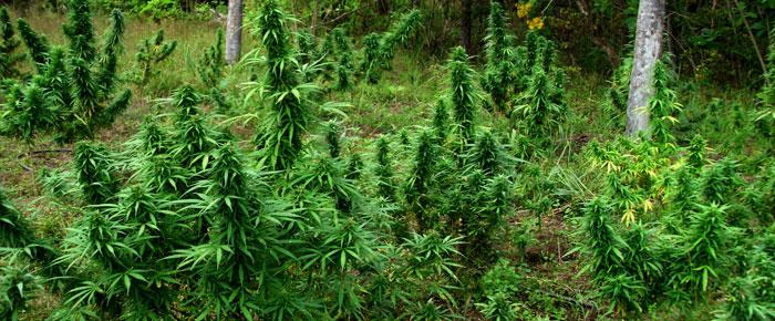 marihuana14